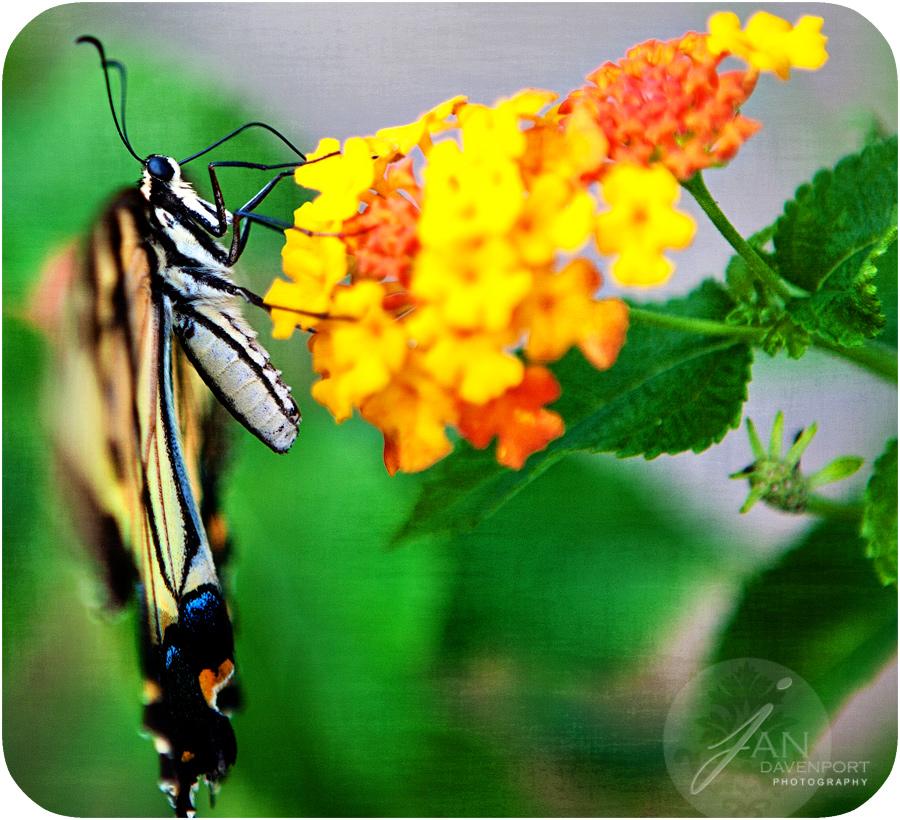 Butterfly1web900